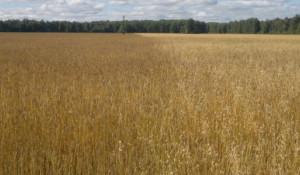 Эффективность работы препарата АКСИАЛ® 50 на яровой пшенице, норма расхода 0,8 л/га, по сравнению с контролем