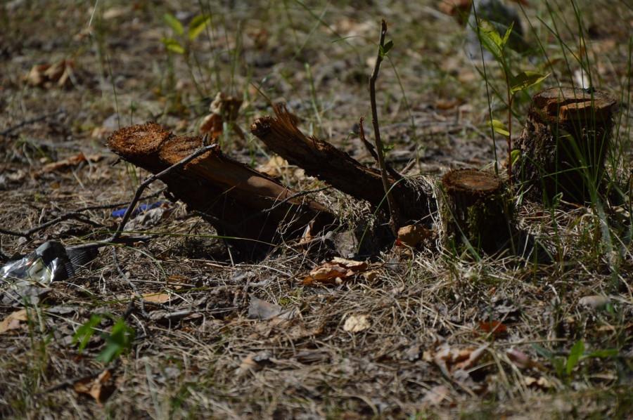 Вырубка деревьев в барнаульском бору.