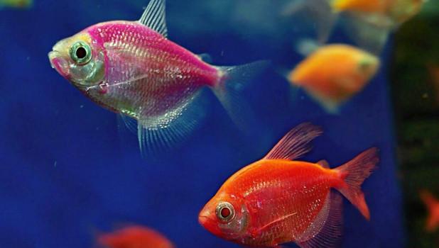 Аквариумная рыбка тернеция.