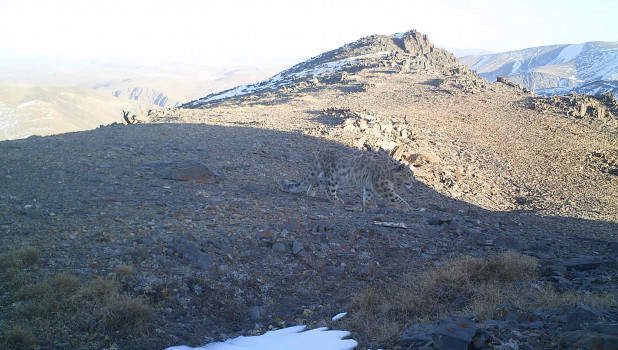 Снежный барс на алтайском склоне.