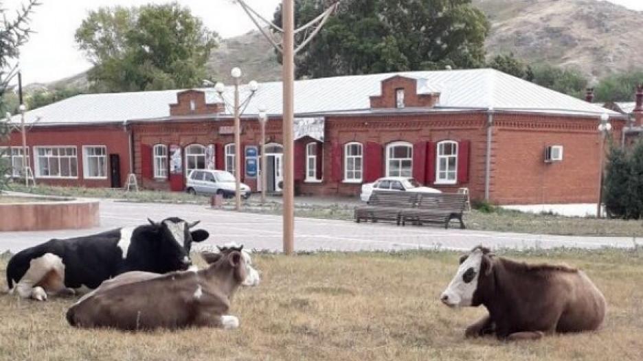 Бродячие коровы в историческом центре Змеиногорска.