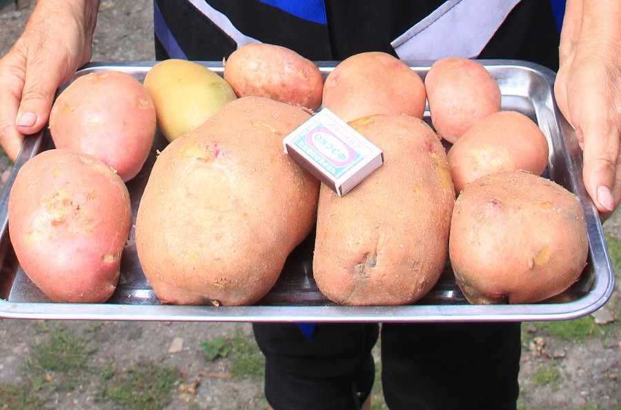 Картофель-гигант.