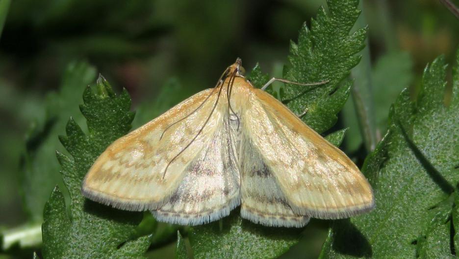 Бабочка лугового мотылька.