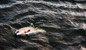 Рыба в водоеме.