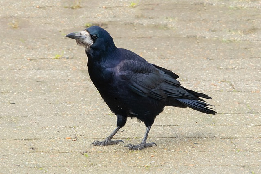 Грач - широко распространенная в Евразии птица рода воронов.