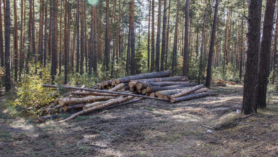 Вырубка леса в Барнауле.