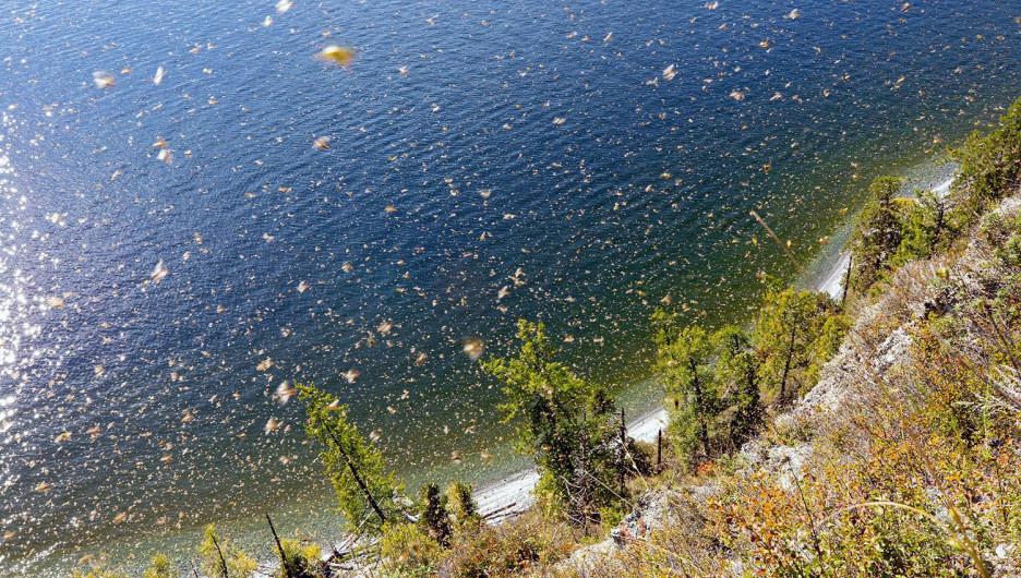 Массовый лет клопов над Телецким озером.