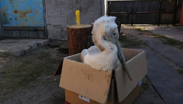 Подстреленный кудрявый пеликан.