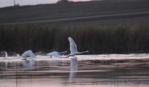 Лебеди в Шипуновском районе.