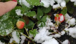 Клубника в снегу.