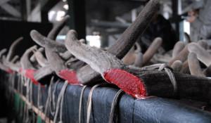 В Алтайском крае заканчивается заготовка пантов марала.