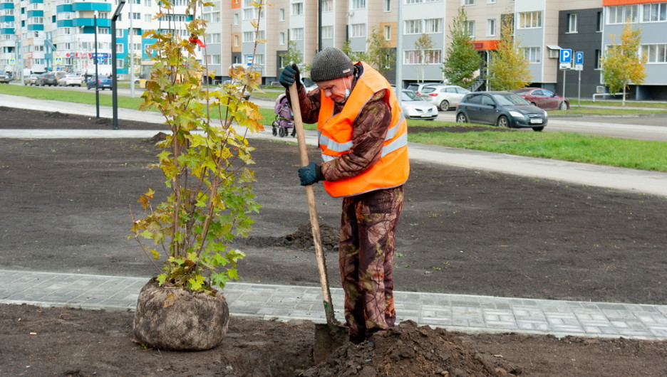 Закон об озеленении. Районы Алтайского края не знают, что сажать вместо срубленных деревьев