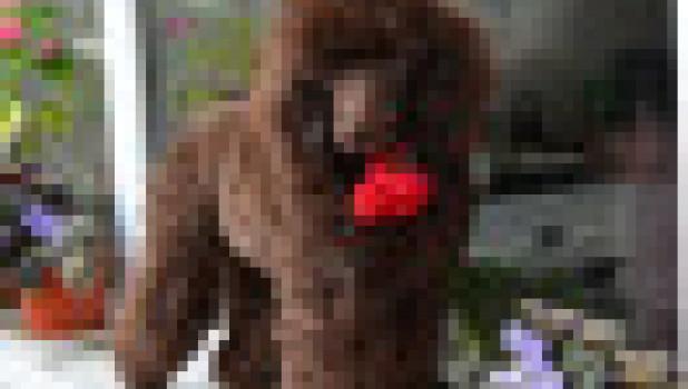 В Барнауле продается щенок той-пуделя.