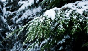 Хвойный лес зимой.