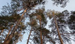 В барнаульском лесу на Горе уничтожили корни 50-ти сосен.