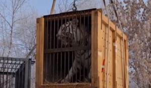 Новый тигр в Барнаульском зоопарке.