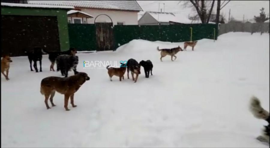 Бродячие собаки в Барнауле.