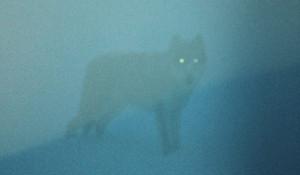 Волк прогуливался недалеко от кордона заповедника.