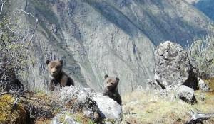 Медвежата.