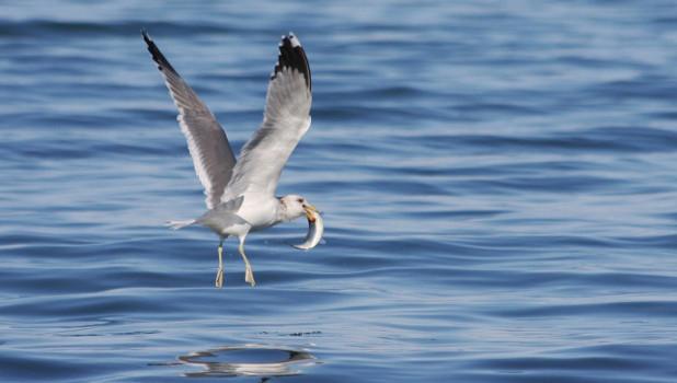 Океан, чайка ловит рыбу