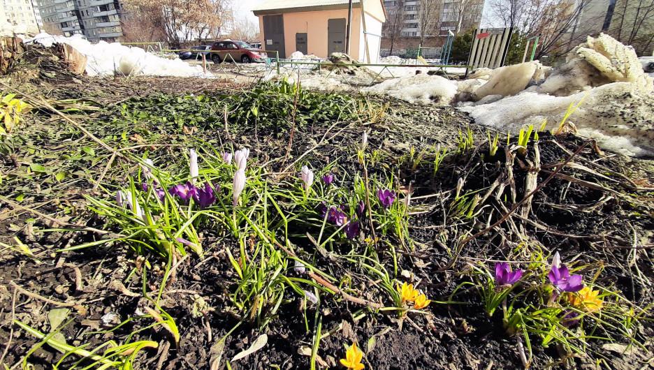 Первые весенние цветы в Барнауле.