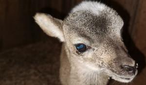 В Барнаульском зоопарке родился муфлон.