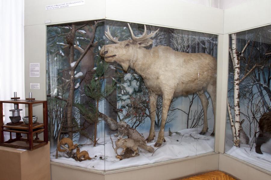 Большой лось - знаменитый экспонат краеведческого музея.