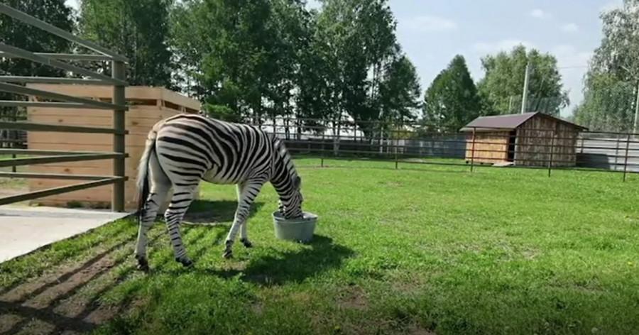 Зебра в Барнаульском зоопарке.