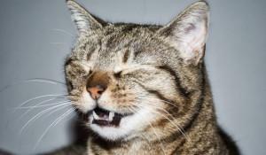 Кот чихает.