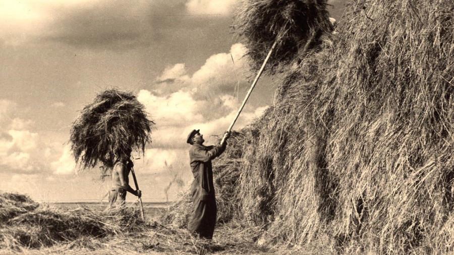Заготовка кормов в кормосовхозе Алейского района.