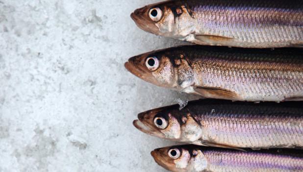 Сельдь. Рыба.