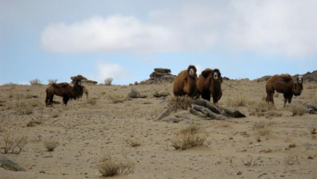 Когда-то от Ховда до Бийска шли караваны верблюдов.